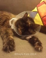 Erni the Cat - post surgery